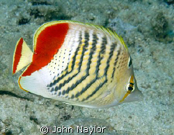 crown butterfly fish by John Naylor