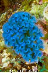 Lettuce slug, Bonaire, D300, 105VR by Larry Polster