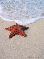 Cushion Sea Star (Oreaster reticulatus) on beach in Provi... by Theresa Tracy