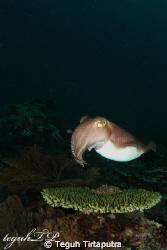 Cuttlefish ready to serve...Canon EOS400D, Sea and Sea ho... by Teguh Tirtaputra