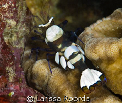 Commensal Shrimp (Periclemenes brevicarpalis).  My first ... by Larissa Roorda