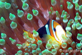 Sharm el Sheik: clown fish in red anemon. Coolpix 5000 in... by Ugo Gaggeri