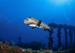 A porcupinefish at the famous wreck of The Rhone. by Juan Torres