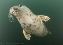 Grey seal. Farne islands. D200, 10.5mm. by Derek Haslam