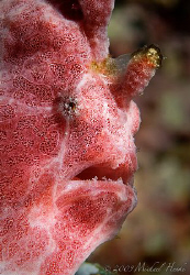Painted frogfish (Antennarius pictus) with Nikon D300, 105mm by Michael Henke