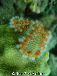 Coral worm posing by Joz Grobbelaar