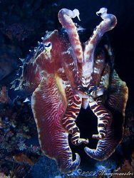 Cuttlefish in defensive pose - Banta Island, Indonesia (C... by Marco Waagmeester
