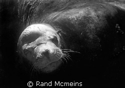 Old Bull Sealion by Rand Mcmeins