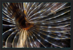 A closer look at a European fan worm (Sabella spallanzanii) by Sven Tramaux