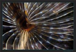 A closer look at a European fan worm (Sabella spallanzanii) by Sven Tramaux
