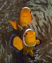 Nemos from Dauin, Philippines. by Jim Chambers