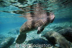 Manatees trying to stay warm at the springs.Taken at Crys... by Ray Eccleston