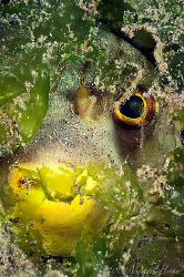 Narrow-lined puffer (Arothron manilensis) hiding. Nikon D... by Michael Henke