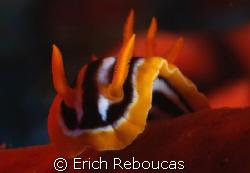 Pyjama slug feeding on a red sponge. Jackson Reef, Tiran... by Erich Reboucas