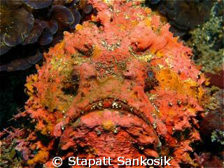 The most beautiful ugly-face stonefish ever ...so colourf... by Stapatt Sankosik