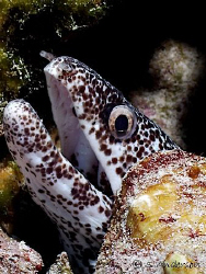 This photo of a Spotted Moray was taken in Cozumel during... by Steven Anderson