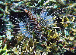 """Spotfin Lionfish"".  The dark spots on its pectoral fins ... by Malia Beggs"