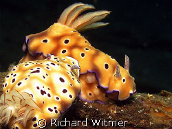 Risbecia tryoni.  These two need to go on a diet :)  Lemb... by Richard Witmer