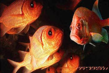 red sea - soldierfish and squirrelfish - Nik.RS - subtron... by Manfred Bail