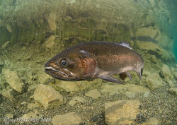 Rainbow trout in the shallows, Capernwray. January 09. ... by Mark Thomas