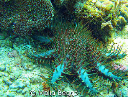 """""""Crown of Thorns""""Sea Star.  These are definitely not a fr... by Malia Beggs"""