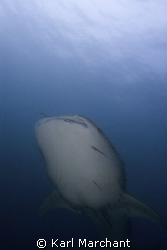 Nearly 40 minutes with this beautiful 6 metre whaleshark.... by Karl Marchant
