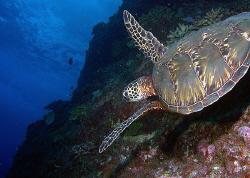 Green Turtle- Saipan by Martin Dalsaso