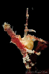 Xenocarcinus conicus with PARASITIC barnacle Sacculina. L... by Michael Henke