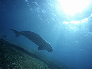 Dugong dugong - red sea - Marsa Alam - Nikonos III 15mm by Serafini Mauro