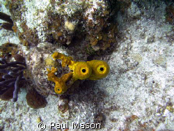 TUBE CORAL by Paul Mason