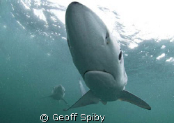 my first encounter with blue sharks , taken today 35km of... by Geoff Spiby
