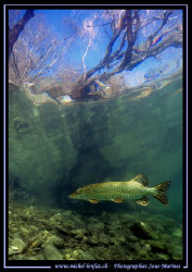 A beautiful Adult Pike Fish - hunting. Picture taken in A... by Michel Lonfat