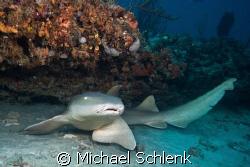 Nurse shark under ledge off Boynton Beach Florida by Michael Schlenk