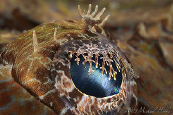 Eye of a Crocodilefish (Cymbacephalus beauforti). I like ... by Michael Henke
