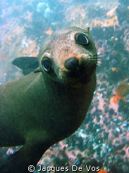 Another picture of a Cape Fur seal pup I took quite some ... by Jacques De Vos