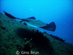 stingray on sea empereur wreck in south florida by Gino Brun