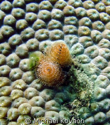 Christmas Tree worm on the Inside Reef at Lauderdale by t... by Michael Kovach