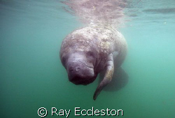 Manatee at Gator Hole,Crystal River FL. by Ray Eccleston