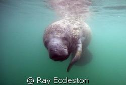 Manatee at Gator Hole,Crystal River FL. by Ray Eccleston