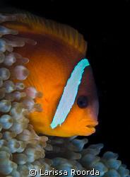 Clownfish macro by Larissa Roorda