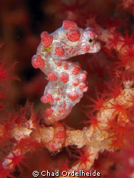 One of Tulambens many Pygmy Seahorses, holding on tightly... by Chad Ordelheide