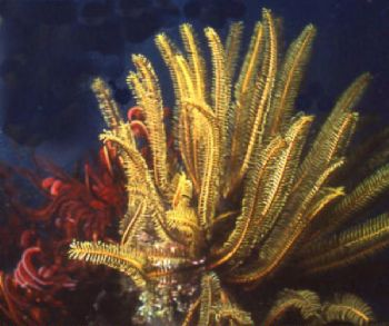 These feather stars were common at night, diving in the C... by Jerry Hamberg