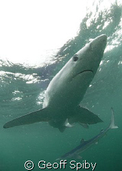 more blue sharks by Geoff Spiby