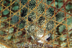 GLOBE FISH USED AS BAIT TO TRAP FOR FISH, NIKON D70S, 10,... by Alberto D'este