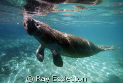 Manatee coming up for air. Taken at Crystal River FL. by Ray Eccleston