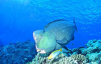 This 4 ft. Buffalo Parrot fish was seen off Lizard Island... by Jerry Hamberg