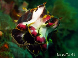Flamboyant cuttlefish I spotted near the Twin Rocks Marin... by Paz Maria De Vera-Santos