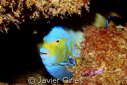 The fish portrayed is a Queen Angel, it was taken off the... by Javier Gines