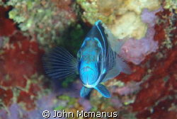 Blue Tang - I took this image on a dive on Pageant Beach ... by John Mcmanus