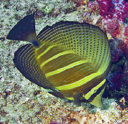 Sailfin Tang (Zebrasoma veliferum) from the Bligh Water o... by Jim Chambers